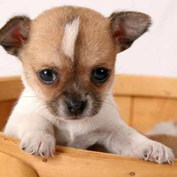 Chihuahua Rescue Maine