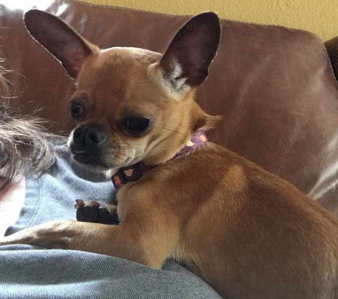 Chihuahua Rescue Maryland