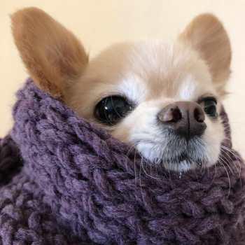 Chihuahua Rescue Mass