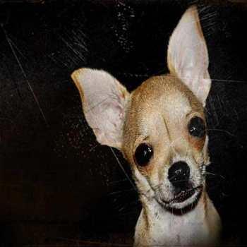 Chihuahua Rescue Near Me