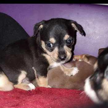 Chihuahua Rescue Pittsburgh