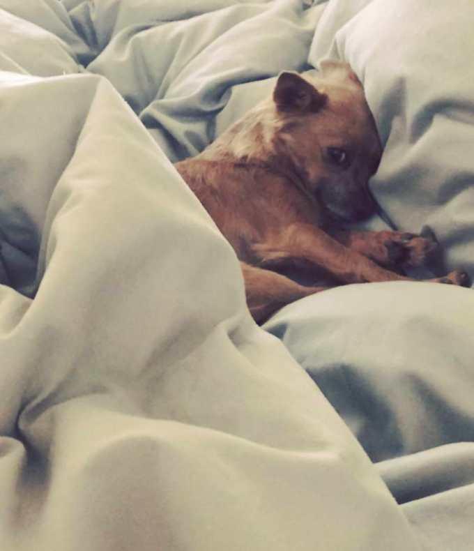 Chihuahua Rescue Portland Oregon