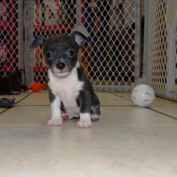 Chihuahua Rescue Richmond Va