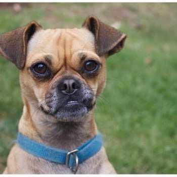 Chihuahua Rescue Sacramento