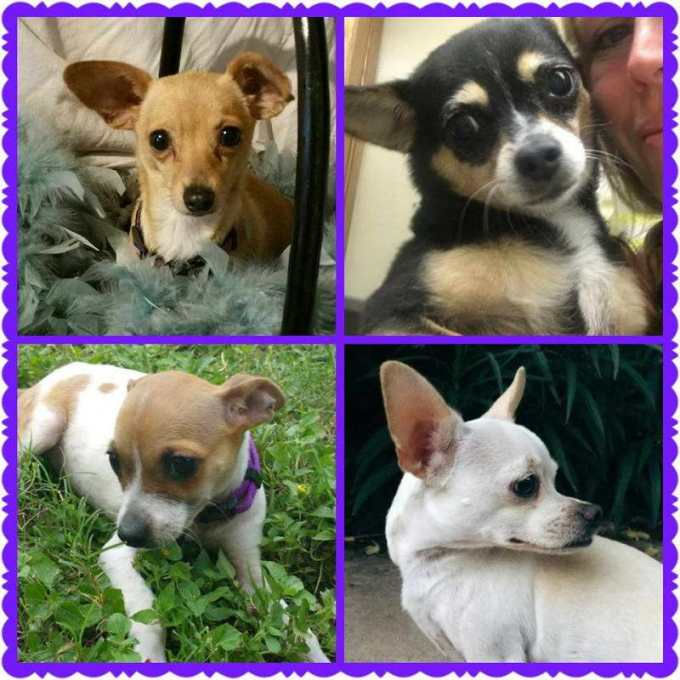 Chihuahua Rescue San Antonio Texas