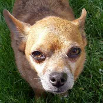 Chihuahua Rescue Utah