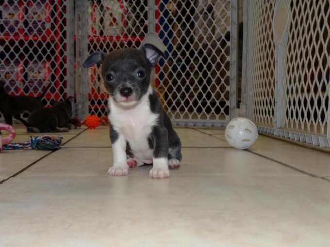 Chihuahua Rescue Va
