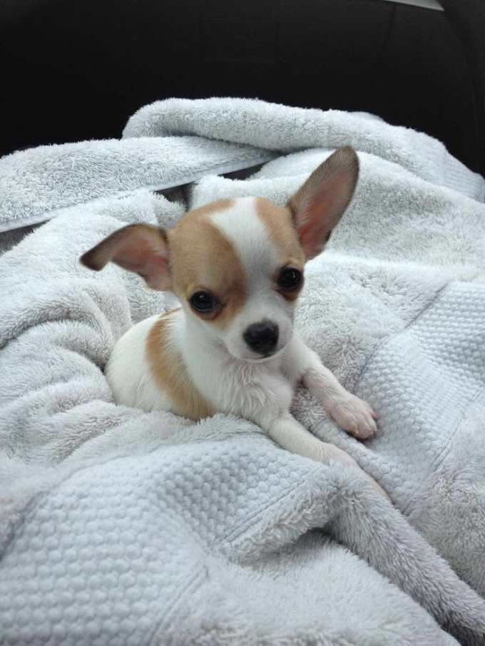 Chihuahua Rescue Washington State