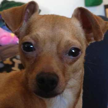 Chihuahua Rescue Wi