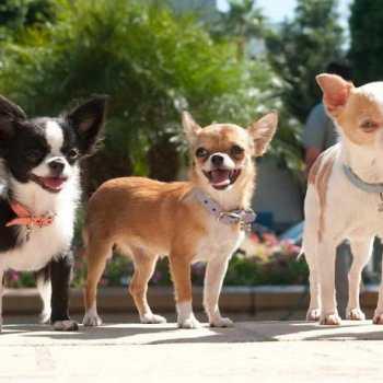 Chihuahua Rescues In California