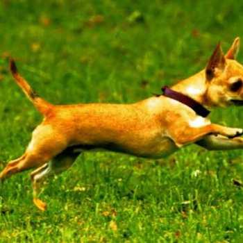 Chihuahua Run