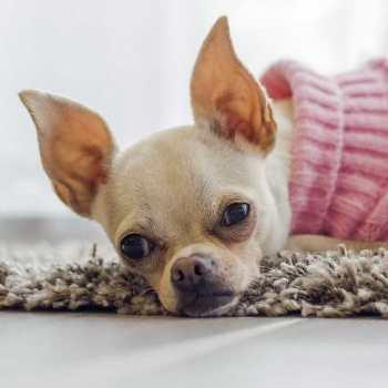 Chihuahua Seizure Symptoms