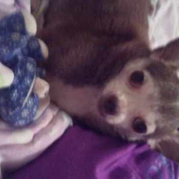 Chihuahua Seizures Causes