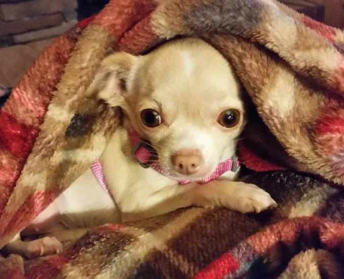 Chihuahua Seizures Remedies