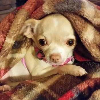 Chihuahua Seizures Treatment