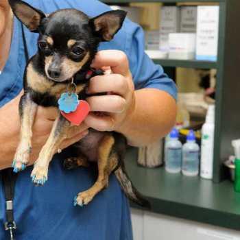 Chihuahua Seizures