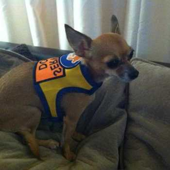 Chihuahua Service Dog Vest