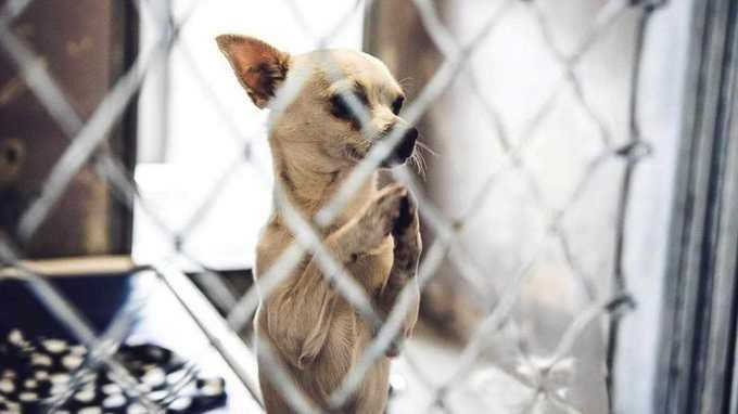 Chihuahua Shelter