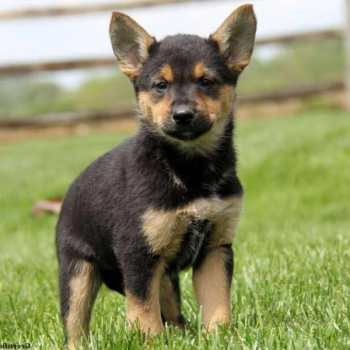 Chihuahua Shepherd Mix Puppies