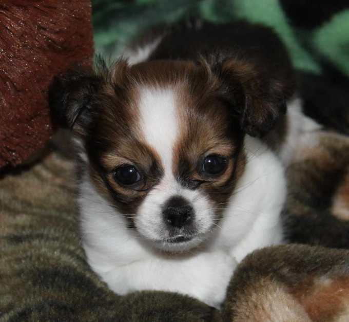 Chihuahua Shih Tzu Mix Puppy For Sale