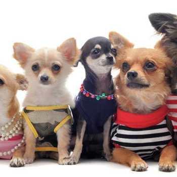 Chihuahua Shoppe