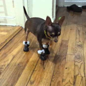 Chihuahua Snow Boots