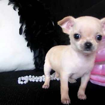 Chihuahua Tea Cup For Sale