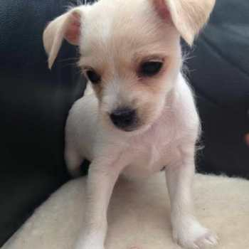 Chihuahua Terrier Puppy For Sale