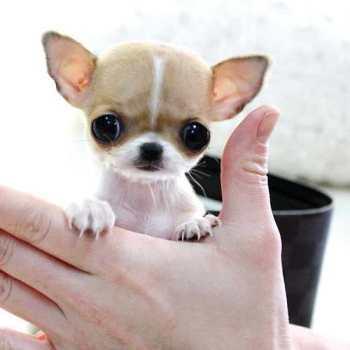 Chihuahua Toys