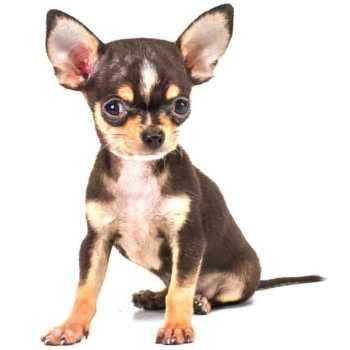 Chihuahua Training Tips