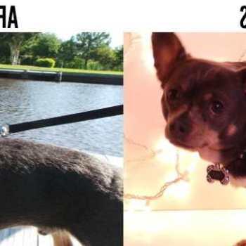 Chihuahua Weight Loss