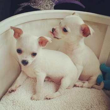 Chihuahua White