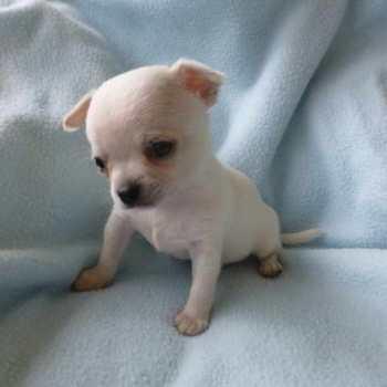 Chihuahua White Puppy