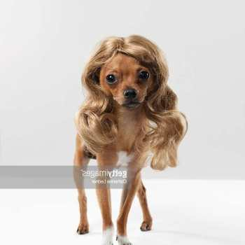 Chihuahua With Wig