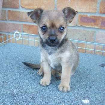 Chihuahua Yorkie Mix Puppies For Sale