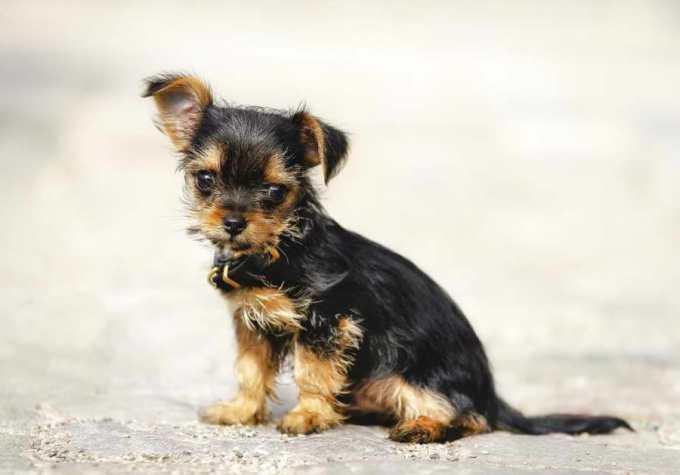 Chihuahua Yorkie Mix Puppies