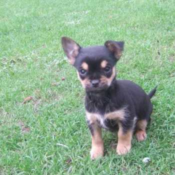 Chihuahua Yorkie Puppies For Sale