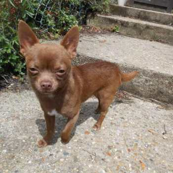 Chocolate Brown Chihuahua For Sale