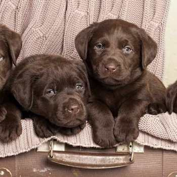 Chocolate Brown Labrador Retriever