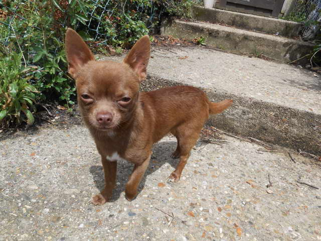 Chocolate Chihuahua For Sale