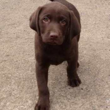 Chocolate Labrador Adoption