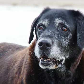 Chocolate Labrador Life Span