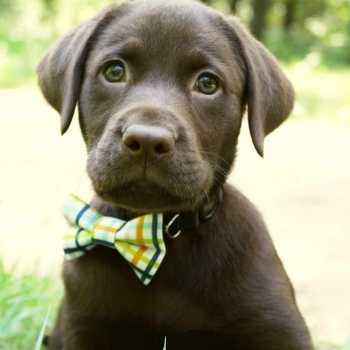 Chocolate Labrador Puppies Colorado