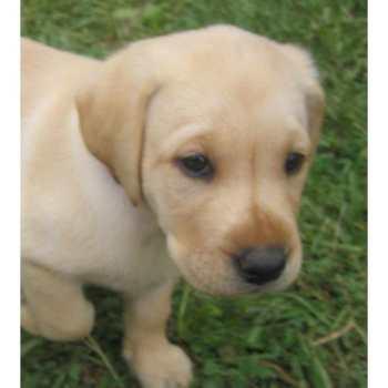 Chocolate Labrador Puppies For Sale Illinois