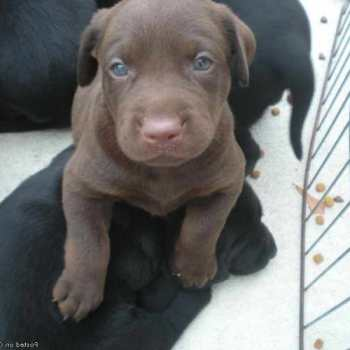 Chocolate Labrador Puppies For Sale In Alabama
