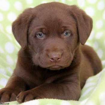 Chocolate Labrador Puppies For Sale In Pa