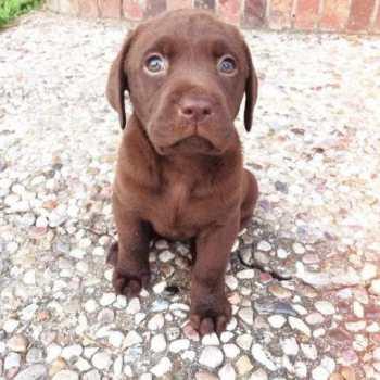 Chocolate Labrador Puppies In Texas