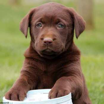 Chocolate Labrador Puppies Indiana
