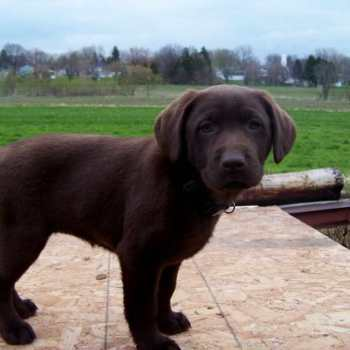 Chocolate Labrador Puppies Michigan