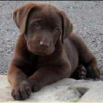 Chocolate Labrador Puppies Pa